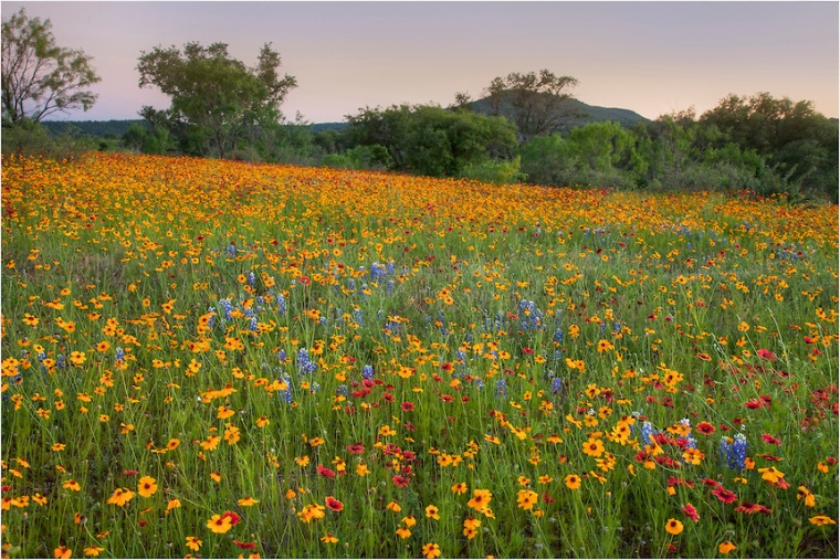A-Sea-of-Red-and-Gold-Wildflowers-near-Llano-Texas